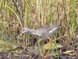 Lesser Yellowlegs, Messalonskee Marsh, photo by Cheryl Ring