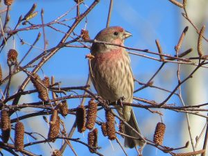 House Finch, Viles Arboretum, photo by Glenn Hodgkins