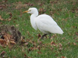 Cattle Egret, Pittston, photo by Glenn Hodgkins